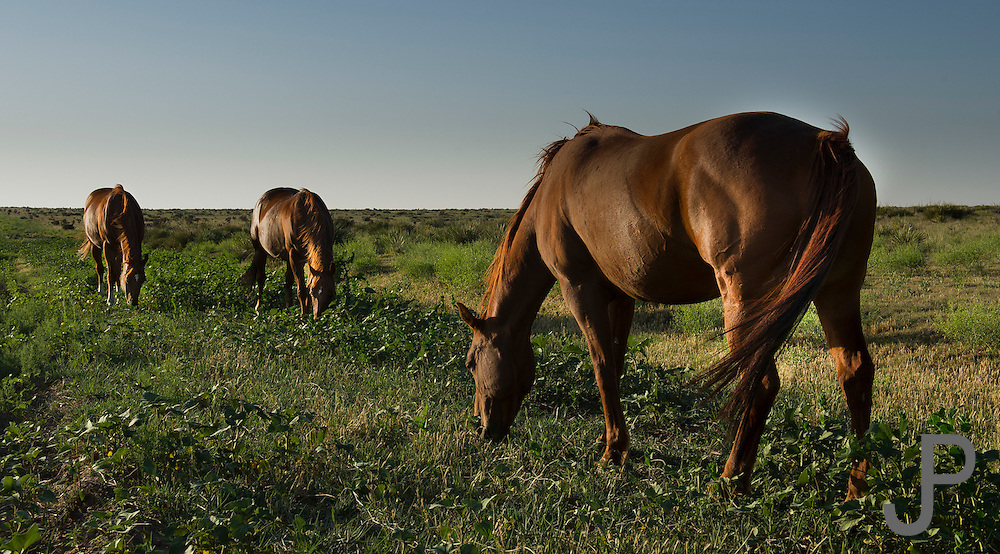 Horses grazng in open pasture in northeast New Mexico
