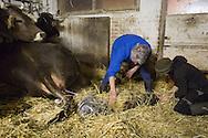 SCHWEIZ - MEISTERSCHWANDEN - Eine Kuh bringt ein Kalb zur Welt, hier helfen die Bauern - 06. Februar 2017 © Raphael Hünerfauth - http://huenerfauth.ch