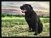 Bella, a black lab, finishes a sunset swim at Shelby Farms Dog Park in Memphis, Tennessee.