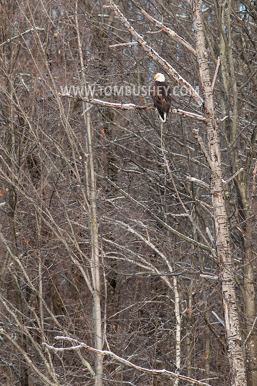 Mount Hope, New York - A bald eagle perches in a tree on April 1, 2015.