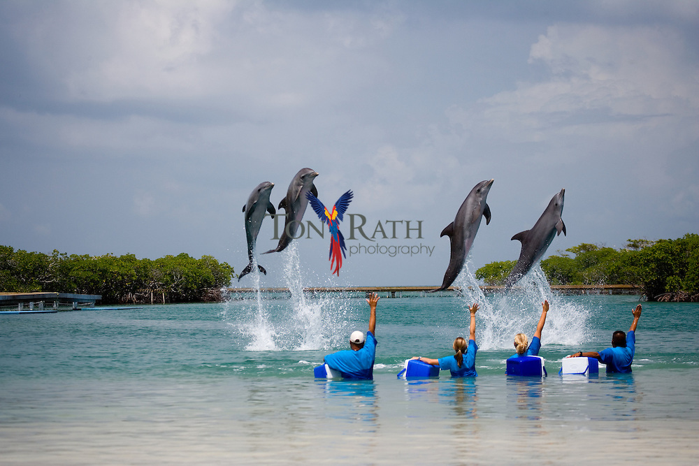 Dolphins jumping (bowing) at Spanish Bay Dolphin Encounter Program, Belize