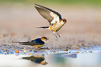 Greater-Striped Swallow pair at the waters edge with one bird collecting nesting material, while the second bird takes to flight, De Hoop Nature Reserve, Western Cape, South Africa