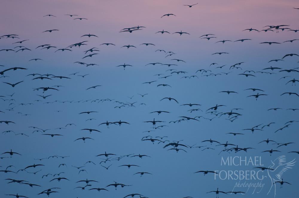 platte river, sandhill cranes