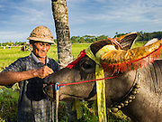 09 OCTOBER 2016 - JEMBRANA, BALI, INDONESIA: A farmer prepares his buffalo for a makepung race (buffalo racing) in Tuwed, Jembrana. Makepung is buffalo racing in the district of Jembrana, on the west end of Bali. The Makepung season starts in July and ends in November. A man sitting in a small cart drives a pair of buffalo bulls around a track cut through rice fields in the district. It's a popular local past time that draws spectators from across western Bali.     PHOTO BY JACK KURTZ