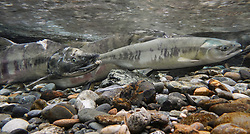 A female chum salmon (Oncorhynchus keta), right, and a male chum salmon (left) make their way up the special spawning channel of Herman Creek during the fall chum salmon run. The injuries of the male salmon were possibly inflicted by a bear hoping to make a meal of the fish.<br /> <br /> These chum salmon are returning to freshwater Herman Creek near Haines, Alaska after three to five years in the saltwater ocean. Spawning only once, chum salmon begin to deteriorate and die approximately two weeks after they spawn. Both sexes of adult chum salmon change colors and appearance upon returning to freshwater. Unlike male sockeye salmon which turn bright red for spawning, male chum salmon change color to an olive green with purple and green vertical stripes. These vertical stripes are not as noticeable in females, who also have a dark horizontal band. Both male and female chum salmon develop hooked snout (type) and large canine teeth. These features in female salmon are less pronounced. <br /> <br /> Herman Creek is a tributary of the Klehini River and is only 10 miles downstream of the area currently being explored as a potential site of a copper and zinc mine. The exploration is being conducted by Constantine Metal Resources Ltd. of Vancouver, B.C. along with investment partner Dowa Metals &amp; Mining Co., Ltd. of Japan. Some local residents and environmental groups are concerned that a mine might threaten the area&rsquo;s salmon. Of particular concern is copper and other heavy metals, found in mine waste, leaching into the Klehini River and the Chilkat River further downstream. Copper and heavy metals are toxic to salmon and bald eagles.<br /> <br /> Chilkat River and Klehini River chum salmon are the primary food source for one of the largest gatherings of bald eagles in the world. Each fall, bald eagles congregate in the Alaska Chilkat Bald Eagle Preserve, located only three miles downriver from the area of current exploration.