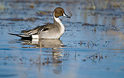 Male of Northern Pintail, Acuta acuta, from Lake Hornborga, Sweden.