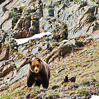grizzly bear sow cub rock ledge spring
