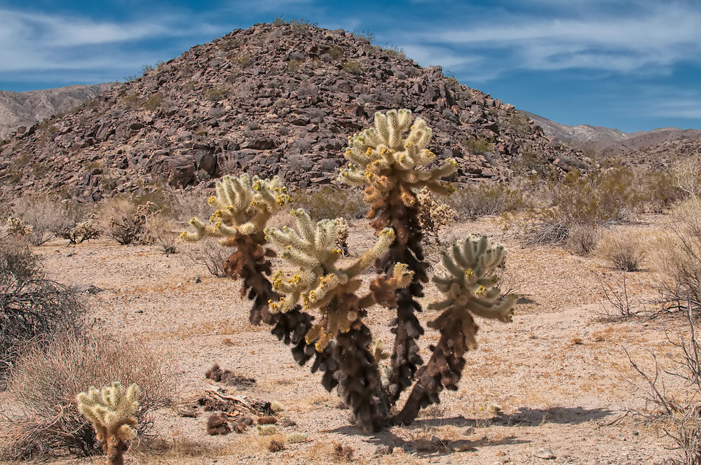 Here is a full-sized teddybear cholla in the Mojave Desert in Southern California. New fresh spines are off-white and as dense as fur (someone decided to make the teddybear comparison, hence the common name), and as the section ages, it turns darker to eventually black. You can see in this photo that the top half is heavily laden with fruit.