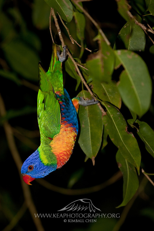 Rainbow Lorikeet, Australia