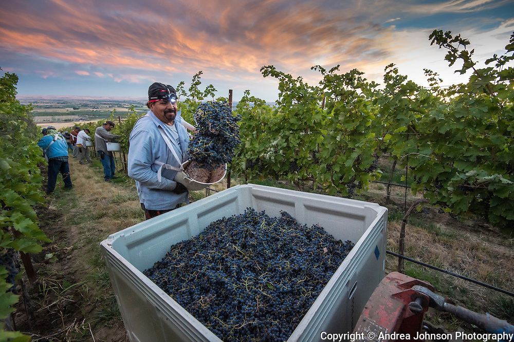 Doubleback Winery night harvest by full moon and headlamps of Cabernet Sauvignon at McQueen Vineyard, Walla Walla