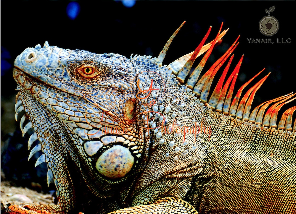 Orange Caribbean Iguana close up. Look at those colors!<br />
