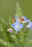 Alkanet - Anthusa officinalis (Boraginaceae) Upright, bristly perennial of waste ground and abandonned arable. Leaves are 5-10cm long and bristly. Flowers are blue and 5-lobed, 8-15mm across ((May-Oct). Probably originates in Britain as a garden plant and from birdseed. Widespread but local, mainly in S.