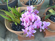 pink orchids blossoms