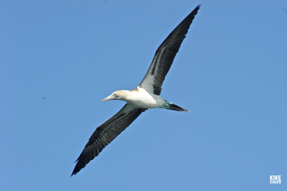 Blue-Footed Booby ( Sula nebouxii excisa) . Punta Moreno. Isabela Island. Galapagos.