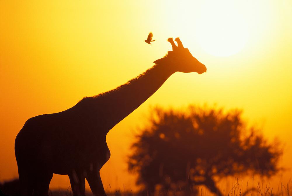 Africa, Kenya, Masai Mara Game Reserve, Rising sun silhouettes Giraffe (Giraffa camelopardalis) feeding on savanna at dawn