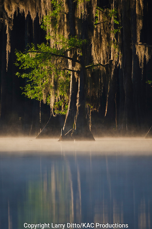 Bald Cypress (Taxodium distichum) at sunrise on Caddo Lake, Texas