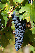 Sangiovese Chianti Classico grapes ripe for picking at Pontignano in Chianti region of Tuscany, Italy RESERVED USE - NOT FOR DOWNLOAD - FOR USE CONTACT TIM GRAHAM