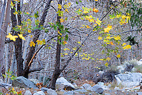 Fall Color, San Gabriel Mountains, California