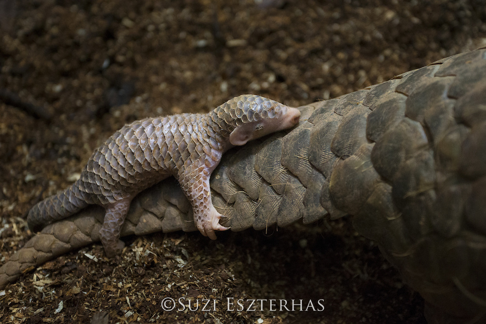 Chinese pangolin <br /> Manis pentadactyla<br /> Two-week-old baby clinging to mother. Mother was rescued from poachers and is now part of captive breeding program at Taipei Zoo. <br /> Taipei Zoo, Taipei, Taiwan<br /> *Captive