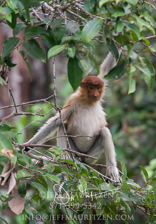 A proboscis monkey in a tree in Tanjung Puting National Park on the island of Borneo, Malaysia.