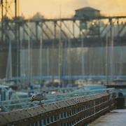 Seagull and Murray Morgan Bridge on snowy morning - Foss Waterway, Tacoma, WA