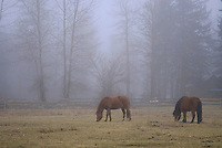 ponies on a misty morning