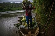 Gilson de Souza manages a banana plantation near the Ivaporunduva quilombo (former runaway slave communal land) in Eldorado, south of Sao Paulo, Brazil, Wednesday, Nov. 28, 2018. (Dado Galdieri)