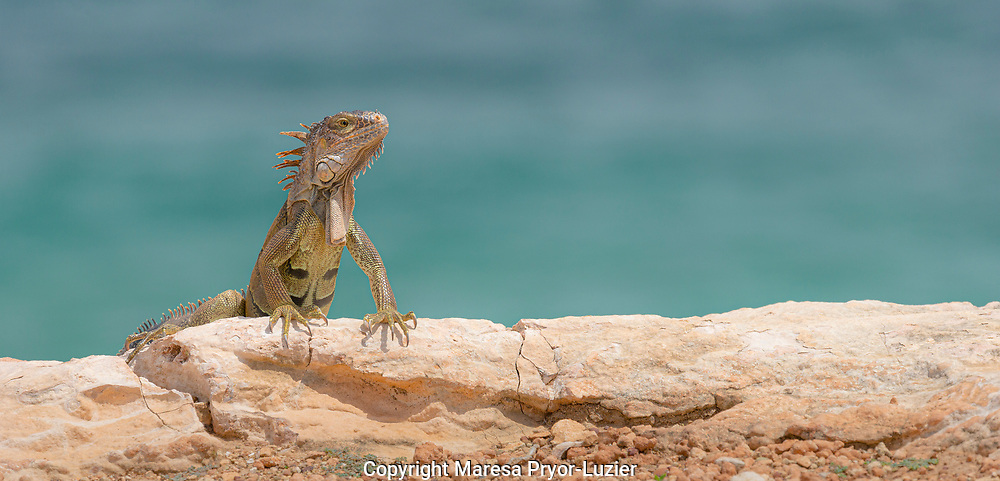 Green iguana, Iguana iguana, Cabo Rojo cliffs in front of the lighthouse, Cabo Rojo National Wildlife Refuge, Puerto Rico