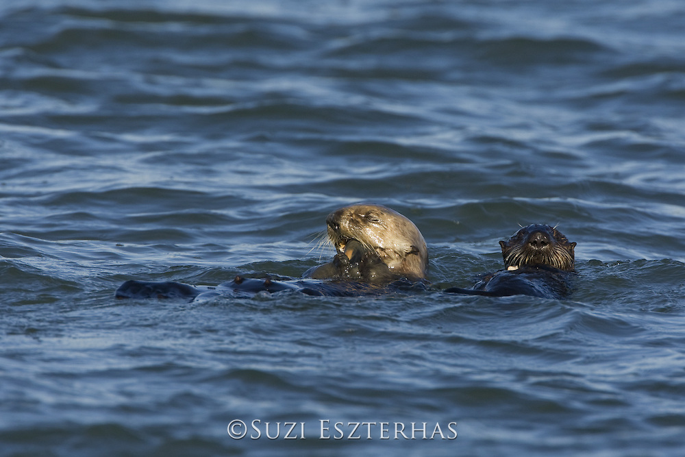 Southern Sea Otter<br /> Enhydra lutris<br /> Mother and 3-6 month old pup feeding<br /> Monterey Bay, CA, USA