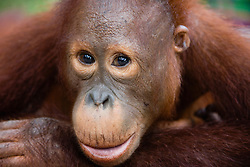 A close-up portrait of a happy juvenile orangutan face (Pongo pygmaeus) , Borneo, Indonesia