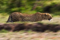 Leopard (Panthera pardus) in Masai Mara