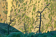 Pine tree in Interior Plateau of Fraser Canyon<br />