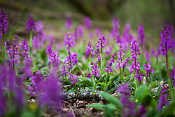 Early Purple Orchid growing in a woodland at Kingcombe, Dorset. Orchis mascula
