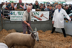 © Licensed to London News Pictures. 23/09/2019. Llanelwedd, Powys, Wales, UK. Blue Faced Leceister rams go under the hammer. The auction of rams gets going at 10.00am. The NSA (National Sheep Association) Wales & Border Ram Sale takes place at the Royal Welsh Showground in Powys, Wales, UK. Two NSA Wales & Border Ram Sales are held each year: An early one in August and the main one in September. Around 4,500 rams from about 30 breeds will be on sale. Photo credit: Graham M. Lawrence/LNP