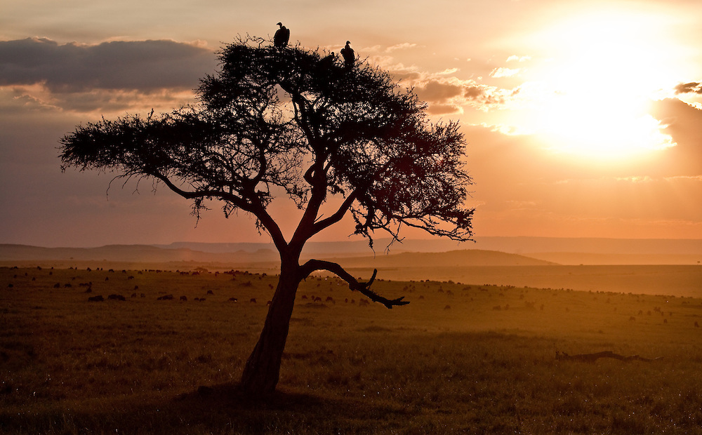 Vultures resting on a tree in the Maasai Mara of Kenya