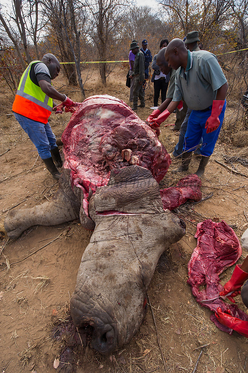 Poached White rhinoceros (Ceratotherium simum)<br /> <br />  Province<br /> SOUTH AFRICA<br /> RANGE: Southern & East Africa<br /> ENDANGERED SPECIES<br /> Looking for bullet for forensic evidence
