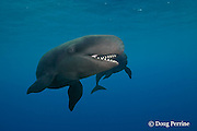 false killer whales, Pseudorca crassidens