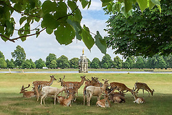 © Licensed to London News Pictures. 26/06/2015. Kingston, UK Deer shade under a tree in Bushy Park in Surrey today 26th June 2015. Warm weather is set to continue into next week. . Photo credit : Stephen Simpson/LNP