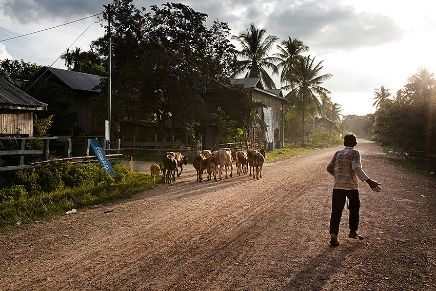 "A man chasing after his cattles at sunset in Phluk, Stung Treng province, northern Cambodia. Despite hosting only 12 families, the village of Phluk, located 11 km downstream the dam's construction site, was once famous for his fishing community. Local fishermen used to earn between $15 and $25 per day selling fish to the surrounding communities. Now because of the dam and the calcium carbide they use for drilling, the amount of fish in the area has dropped dramatically. ""The village is now very quite and we no longer sell fish since there's barely enough to feed ourselves. We only have buffaloes and chickens but with the deforestation going on around here it's getting harder and harder. As if this wasn't enough, the rain stopped too. We are cursed"" - Bun Aeng, 50, fisherman."