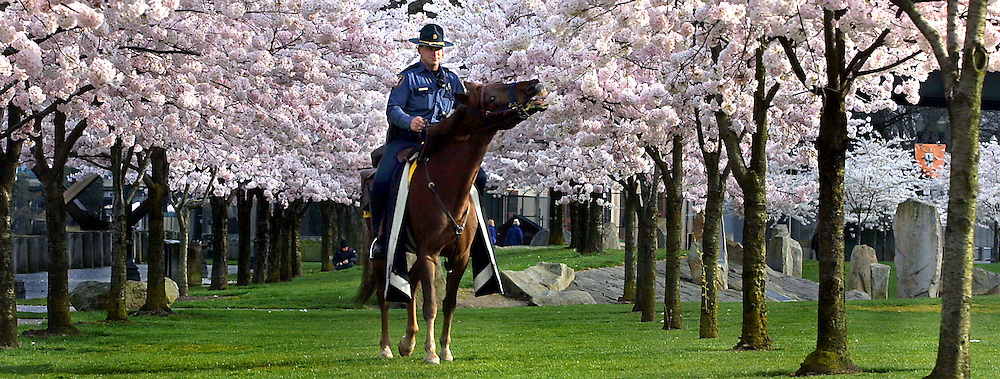 Officer Jeffery Helfrich of the Portland Police mounted patrol unit stops to let his horse Norman take a nibble on the cherry blossoms at Tom McCall Waterfront Park.