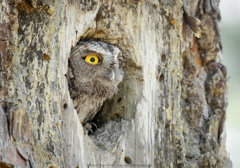 a gray phase eastern screech owl peers out of an old red-cockaded woodpecker cavity inside of a longleaf pine in Croatan National Forest, North Carolina
