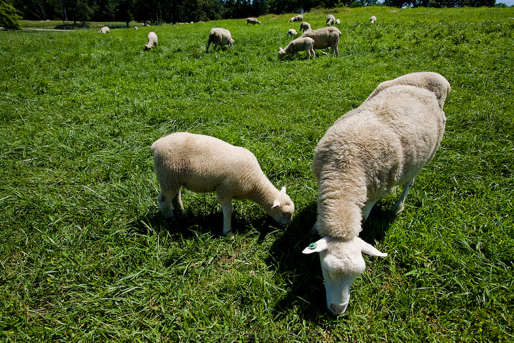Sheep graze near the restaurant before dinner at Chef Dan Barber's Stone Barns Center for Food & Agriculture  in Pocantico Hills, New York. The restaurant produces and grows much of the fresh food it serves.  (Chef Dan Barber is mentioned in the book What I Eat: Around the World in 80 Diets.) .