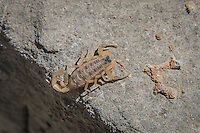 Easily North America's most common scorpion, the striped bark scorpion (Centruroides vittatus) is a medium-sized species found across most of the southern states and many of the states in Mexico. Perhaps one of the reasons for its geographical success is the fact that it can thrive in an amazing variety of habitats. It is found in deserts, grasslands, coniferous forests, deciduous forests and is found living under tree bark, rocks and any other suitable environment it can find. Unfortunately this is where it often is found among human habitation. Painful yet mostly harmless, this scorpion is not considered dangerous, unless you are a cricket, beetle or some other such small prey. This one was photographed in the Chihuahuan Desert's Guadalupe Mountains in NW Texas near the New Mexico border.
