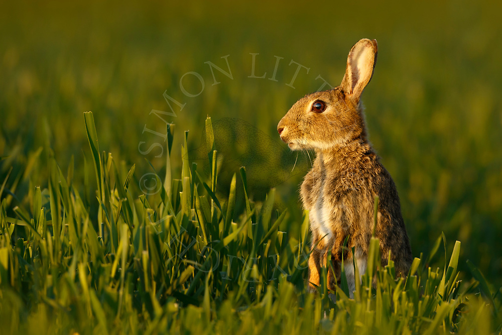 European Rabbit (Oryctolagus cuniculus)  adult alert on hind legs in wheat field, South Norfolk, England, May.