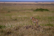 Cheetah, Serengeti National Park, Tanzania.