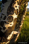 Scars on quaking aspen trunks in Glacier National Park in Montana