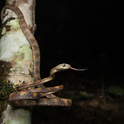 White-spotted Cat Snake (Boiga drapiezii) in Krabi, Thailand