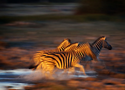 NAMIBIA ETOSHA 28APR14 - A herd of Zebra flee from a waterhole in the Etosha pan near Okaukuejo, Etosha National Park, Namibia. <br /> <br /> <br /> <br /> jre/Photo by Jiri Rezac<br /> <br /> <br /> <br /> © Jiri Rezac 2014