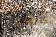 Mature whitetail in autumn habitat