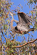 Great Blue Heron after landing in its Eucalyptus tree.  At Lake Murray
